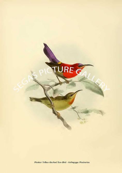 Fine art print of the Nicobar Yellow-Backed Sun-Bird - Aethopyga Nicobarica by the artist Johannes Gerardus Keulemans (1876-1880)